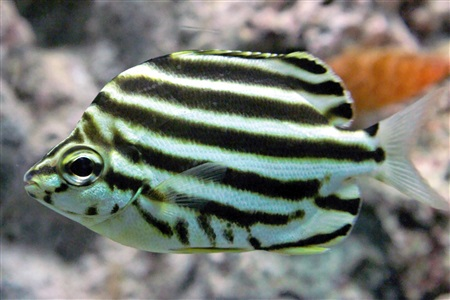 Stripey (Microcanthus strigatus)