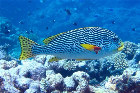 Yellowbanded sweetlips (Plectorhinchus lineatus)
