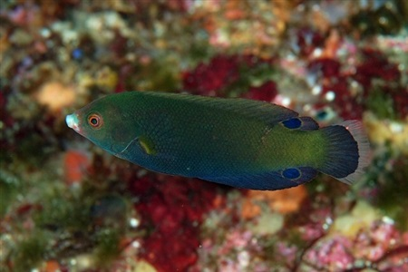 Geographic wrasse (Anampses geographicus)