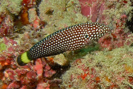 White-spotted wrasse (Anampses melanurus)