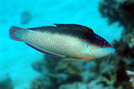 New Guinea wrasse (Anampses neoguinaicus)