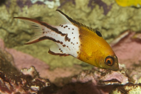 Tofarvet svinefisk (Bodianus anthioides)
