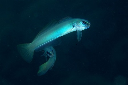 Blue gudgeon (Ptereleotris microlepis)