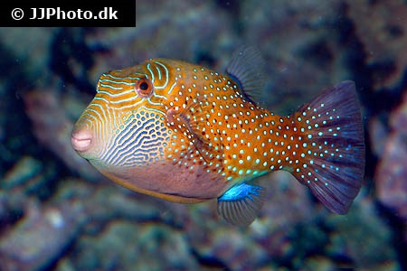 (Canthigaster amboinensis)
