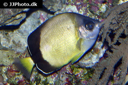 Japanese butterflyfish (Chaetodon nippon)