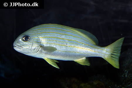Yellow-striped sweetlips (Plectorhinchus chrysotaenia)