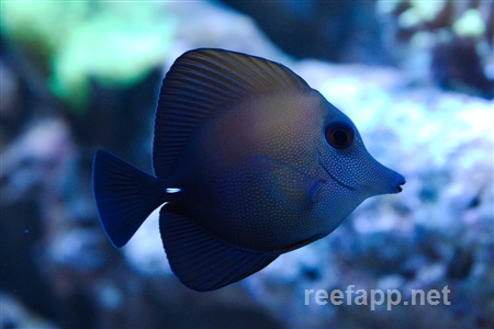 Brown Scopas Tang  (Zebrasoma scopas)