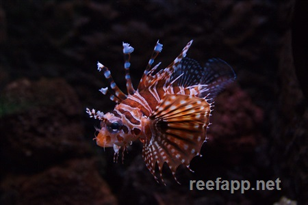 Scorpion-/lionfishes (Scorpaenidae)