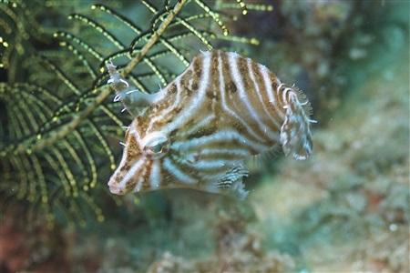 Acreichthys radiatus