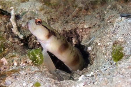 Amblyeleotris gymnocephala