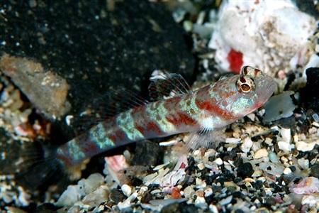 Amblyeleotris periophthalma