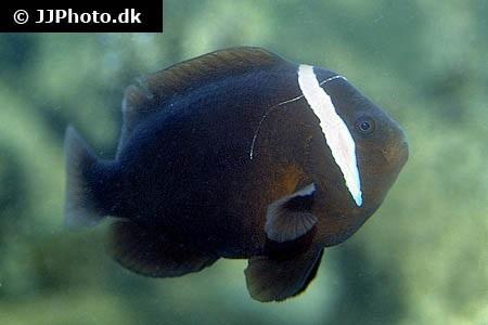 Amphiprion melanopus