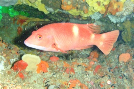 Bodianus frenchii