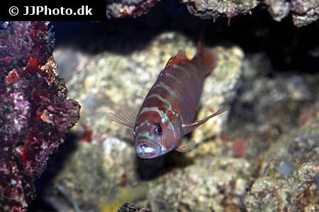 Cephalopholis sexmaculata