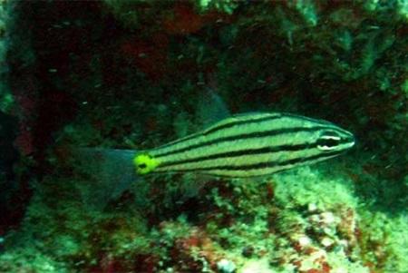 Cheilodipterus isostigmus