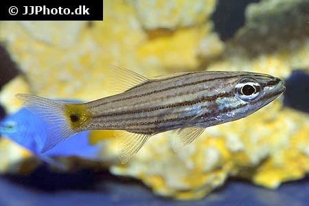 Cheilodipterus persicus