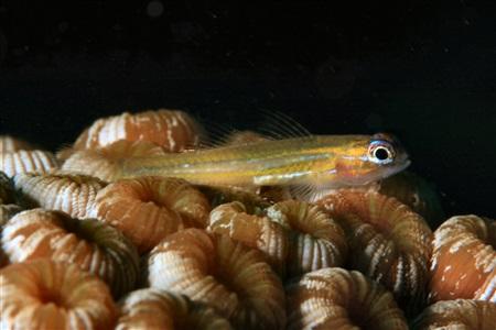 Coryphopterus lipernes