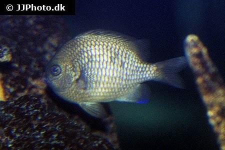 Dascyllus flavicaudus
