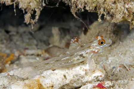 Fusigobius signipinnis