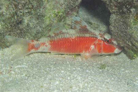 Parupeneus macronemus
