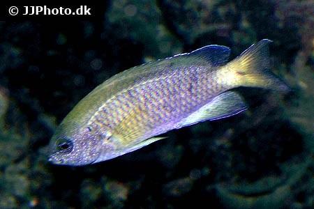 Pomacentrus amboinensis