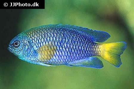 Pomacentrus similis