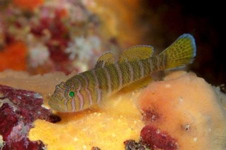 Priolepis cincta
