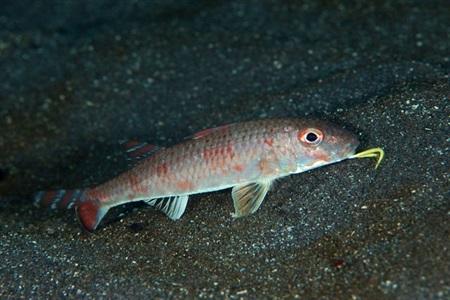 Upeneus japonicus